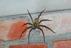 常見的白額高腳蛛,俗稱「旯犽」,其實是滅蟑的好幫手,而且牠並不會爬到人身上。(圖片來源:特生中心)