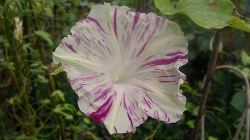 Ipomoea purpurea Q1152 by Gerris2