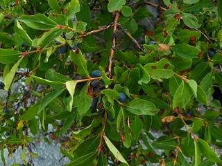 Lonicera caerulea=Chèvrefeuille bleu - baies toxiques comme tous les chèvrefeuilles(3)