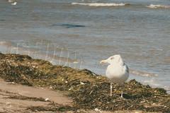 Wary Gull