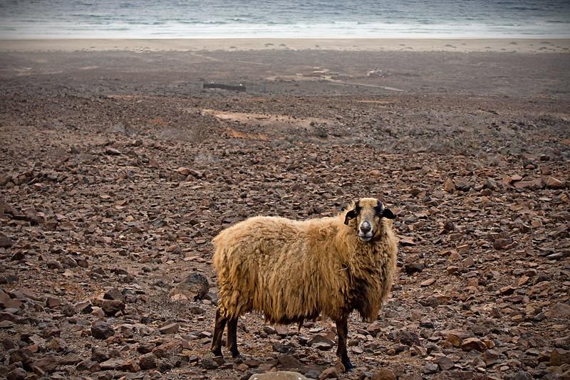 - The nosy sheep - Fuerteventura