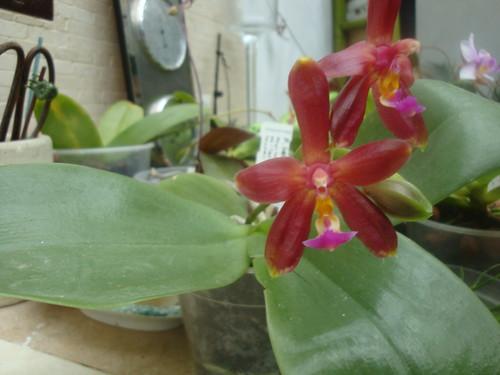 Phalaenopsis bellina 'Ponkan' x mannii 'Black' 9922562986_1aaa6ec1e0