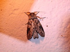 Moth 17