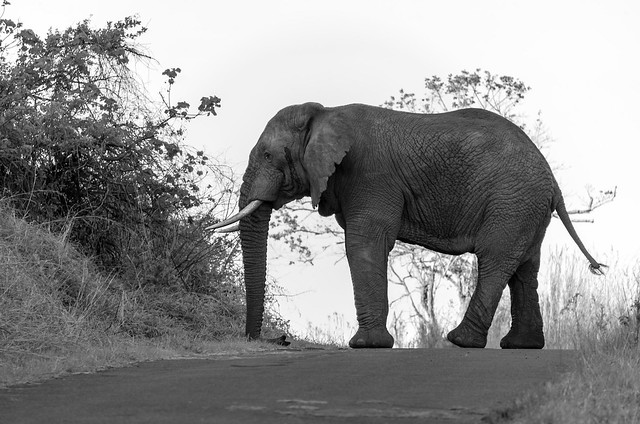 bull elephant in musth processed in black and white side view on the road