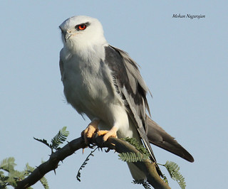 Black-Shouldered-Kite