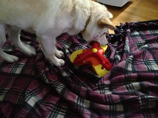 Balki Playing with Kyjen Treat Triad Dog Toy Puzzle