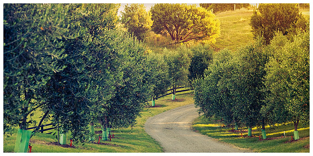 olivefarmblog8