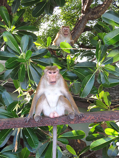 Trincomalee - temple monkeys