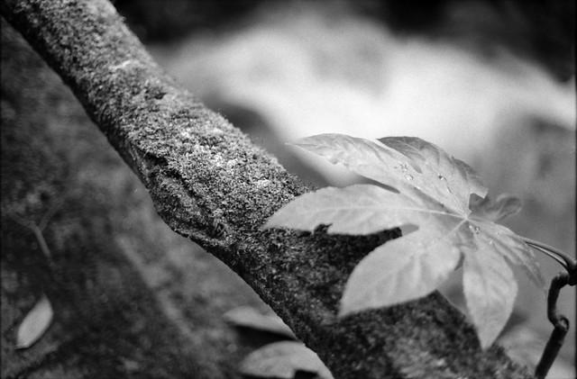 水が滴る葉っぱ - Leaves the water dripping