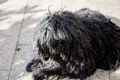 Portrait of a Puli