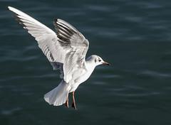 Genève,février,oiseaux du lac