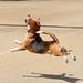 Beagle Ballet! by Nikcanlove1