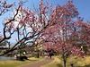Photo:梅 @那珂川河畔公園(栃木県那須塩原市) By TOMODA