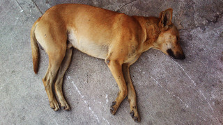 Stray Dog Sleeping #1