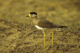 Yellow-wattled Lapwing - Sri Lanka 83