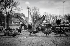 #DailyPigeon 021017 12:05p 1/1200 100 f5.6 my pigeon buddy meet-up spot has piqued the interest of the local grackles. #pigeon #pigeons #CityBird #UrbanWildlife #InstaDFW #Dallas #bnw #bw #bnw_society #bnw_captures #blackandwhite #bnw_just #monochrome #bn