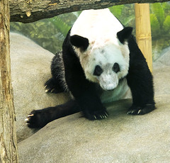 Memphis Zoo 08-31-2016- Giant Panda Ya Ya (Female) 3