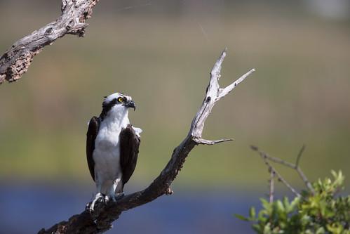 pandionhaliaetus osprey