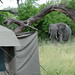 Elephant in camp (Eric Browett)