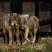 Small photo of Eurasian wolf