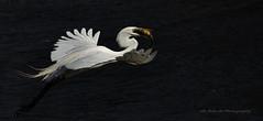 Great Egret / Grande aigrette / Ardea alba