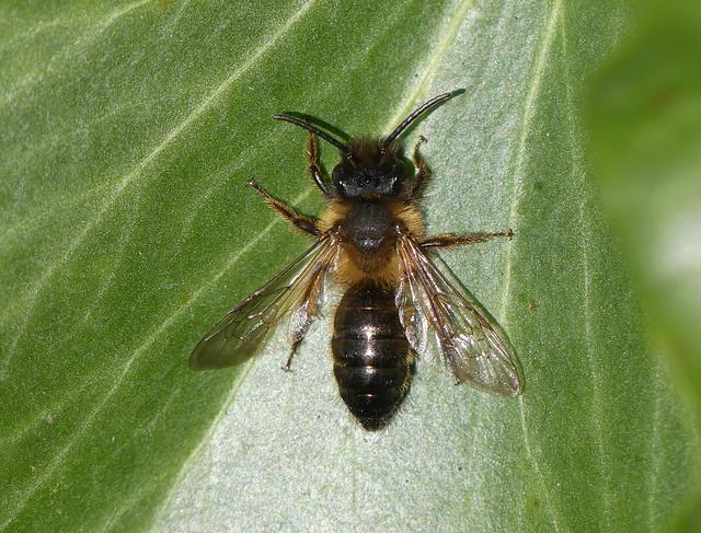 Gwynne's Mining-bee (Andrena bicolor)