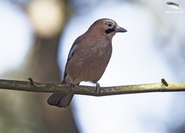 Backlit Jay (Formby)