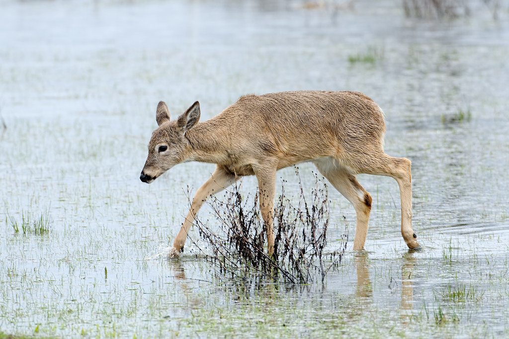 A Columbian white-tailed deer fawn walks through a flooded field