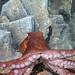 Small photo of Aquar.octopus