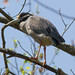 Nick Pulcinella has added a photo to the pool:Yellow-crowned Night-Heron  Kennett Twp., Chester Co., PAApril 16, 2017ebird.org/ebird/view/checklist/S36016111
