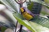 IMG_8036 Canada Warbler