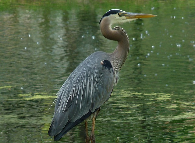 Great Blue Heron i, Panasonic DMC-FZ35