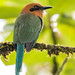 Broad-billed Motmot (Ian Talboys)