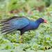 Purple Galinule (Ian Talboys)