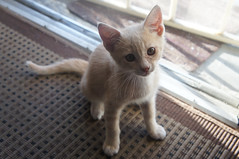 animal, kitten, small to medium-sized cats, pet, mammal, singapura, cat, whiskers, domestic short-haired cat,