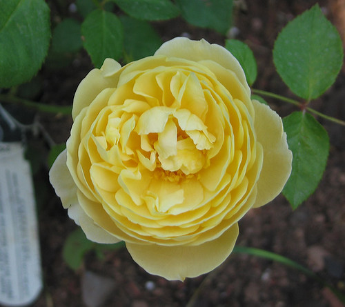 "David Austin English Rose ""Charlotte."" by Leenechan"