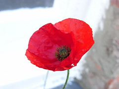 flower, red, plant, macro photography, coquelicot, close-up, petal, poppy,