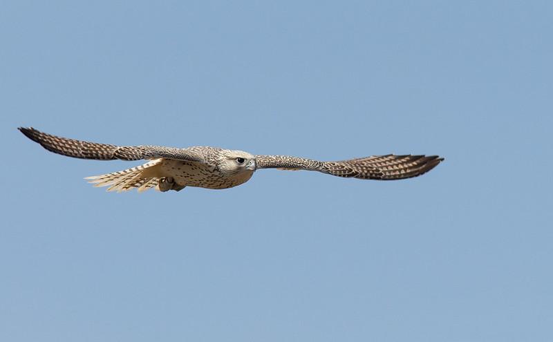 Gyr Falcon - local falconer's bird or not, magnificent!