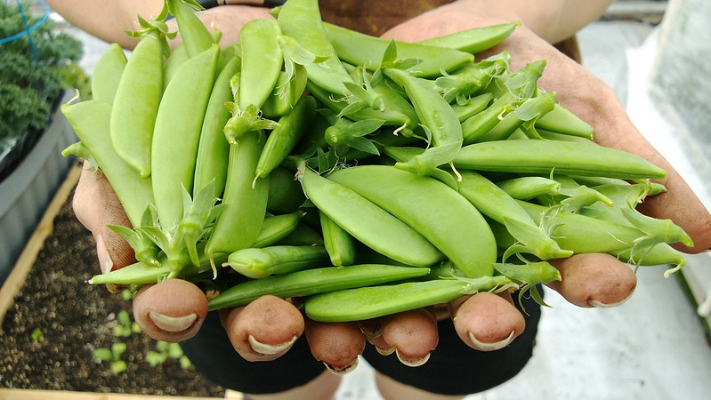 Sugar Snap Peas 5