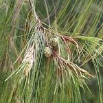Casuarina equisetifolia needles and cones