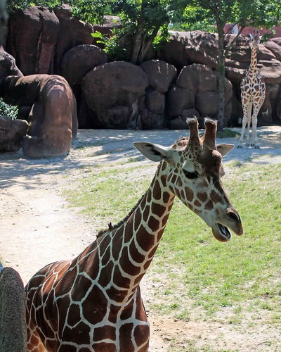 Zoo 7 - Giraffe