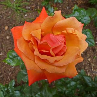 Campus Rose V