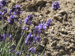 A Bee Comes Close Lavender Flowers