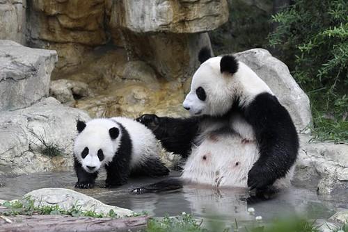 qq头像大全 个性签名 个性签名  下载手机图片:动物大熊猫