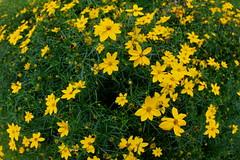 brassica(0.0), chamaemelum nobile(0.0), mustard(0.0), rapeseed(0.0), annual plant(1.0), flower(1.0), yellow(1.0), plant(1.0), herb(1.0), wildflower(1.0), flora(1.0), produce(1.0), sulfur cosmos(1.0), meadow(1.0),