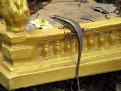 Shrine skink
