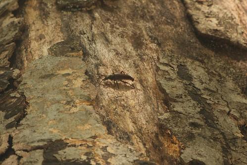 クロオオハナカミキリ