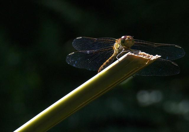 DSC_6922 dragonfly