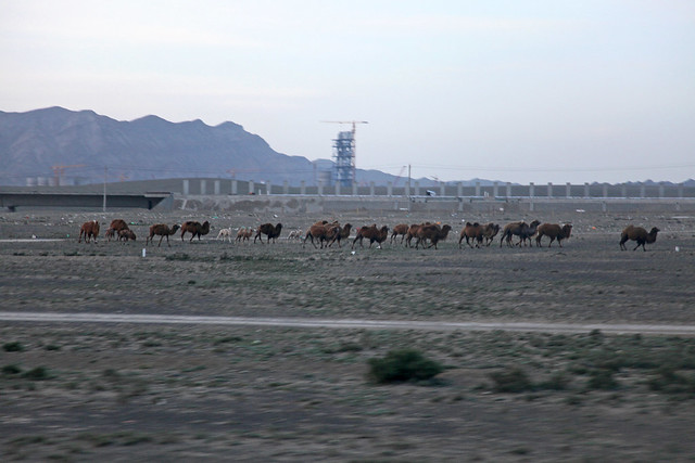 Camels seen from the bus window バスの窓から見たラクダたち