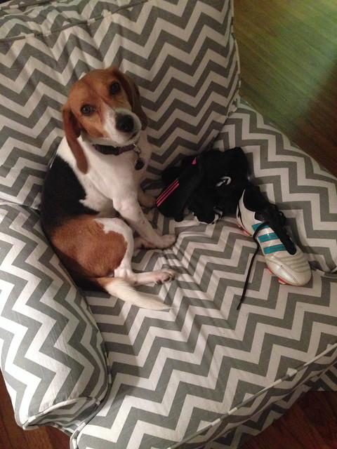 ally beagle